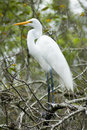 Great White Egret Stock Photography - 4970642