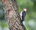 Red-bellied Woodpecker Stock Photography - 4979262