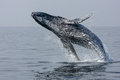 Breaching Hump Back Whale Stock Photos - 49713823