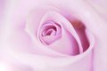 Blurred Pale Purple Rose And Light Flare Background Royalty Free Stock Photo - 49729635