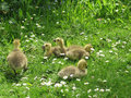 Group Of Goslings Royalty Free Stock Image - 49746236