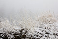 Frozen Nardus Stricta Grass During Winter Royalty Free Stock Photography - 49752427