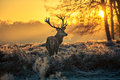 Red Deer Royalty Free Stock Photo - 49755305