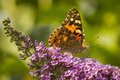 Painted Lady Butterfly Royalty Free Stock Photo - 49759645