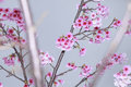 Spring Is Coming,cherry Blossoms Is Blooming. Stock Images - 49769924