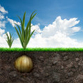 Onion Bulb And Grass In Blue Sky Stock Photography - 49775252