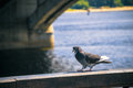 Wild Pigeon Near The River Royalty Free Stock Photography - 49793957