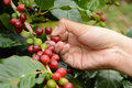 Coffee Beans On The Lot Royalty Free Stock Photo - 49826735