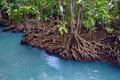 Mangrove Forest Stock Photo - 49828620
