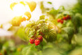 Growing Ripe Of Raspberries Royalty Free Stock Image - 49834256