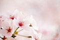 Pink Cherry Blossoms Royalty Free Stock Photo - 49845865