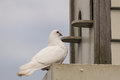 White Pigeon Perched At Dovecote Royalty Free Stock Images - 49852289