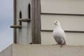 White Pigeon With Pigeon House Royalty Free Stock Images - 49852319