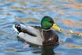 Wild Duck In The Water Royalty Free Stock Images - 49852769