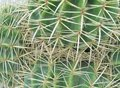 A Close Up Of The Golden Ball Or Barrel Cactus Royalty Free Stock Photos - 49884608