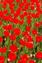 Tulip Show Royalty Free Stock Photo - 4992155