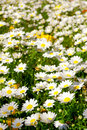 Field Of Daisies Stock Image - 4993971