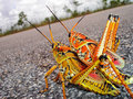 Mating Grasshoppers Stock Photography - 4995442