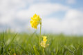 Primula Veris Royalty Free Stock Photo - 49906575