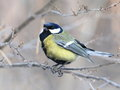 Great Tit Stock Photos - 49937183