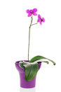Blooming Twig Of Fuchsia Orchid In Purple Flower Pot Isolated. Royalty Free Stock Images - 50004619