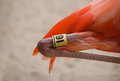 Flamingo Bird Leg Tagging Program Closeup Stock Photo - 50021350