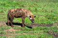 Spotted Hyena Stock Photo - 50081810