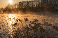 Swans Lake Mist Winter Sunset Royalty Free Stock Photo - 50085945