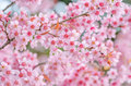 Pink Cherry Blossom Royalty Free Stock Images - 50094589