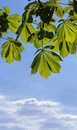 Leaves Of A Chestnut Royalty Free Stock Images - 5013019