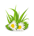 Camomile Flowers With Grass On White Background Stock Images - 50103804