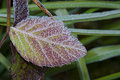 Frozen Leaf Royalty Free Stock Image - 50148406