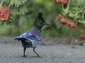 Inquisitive Steller S Jay Stock Images - 50149854