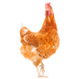Full Body Of Brown Chicken Hen Standing Isolated White Backgroun Stock Photo - 50156210