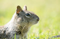 Squirrel In Grass, Head Up With Reflection In Eyes Stock Photo - 50172530