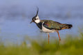 Male European Northern Lapwing Royalty Free Stock Photo - 50194045