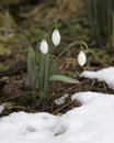 Spring Flowers Snowdrops (Galanthus) In A Forest In Spring Royalty Free Stock Photo - 50206225