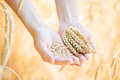 Woman Hand Touching Wheat Royalty Free Stock Images - 50241439