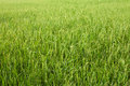 Rice Field With Green Grass Agriculture Farm Background Texture From THAILAND. Stock Photo - 50288890