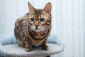 Bengal Cat Royalty Free Stock Photography - 50304717
