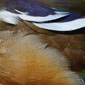 Mandarin Duck Feathers Stock Images - 50315984