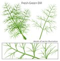 Fresh And Green Dill. Stock Photo - 50337700