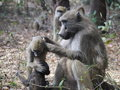 Chacma Baboons Royalty Free Stock Photo - 50339945