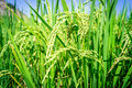 Paddy Field Stock Images - 50348834