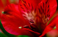 Alstroemeria Red Flowers With Green Leafs Royalty Free Stock Photography - 50359007