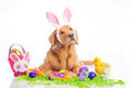 Easter Bunny Dog Royalty Free Stock Photography - 50364267