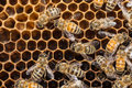 Bees On Honeycells Royalty Free Stock Photos - 50378518