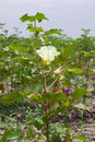 The Cotton Flower Royalty Free Stock Photography - 50390497