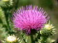 Purple Thistle Royalty Free Stock Photography - 5048617