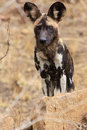 African Wild Dog Stock Images - 50417624